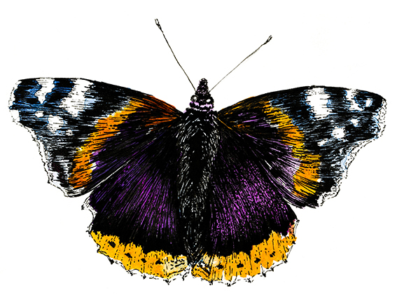 Red Admiral Butterfly Illustration (c) Ella Johnston
