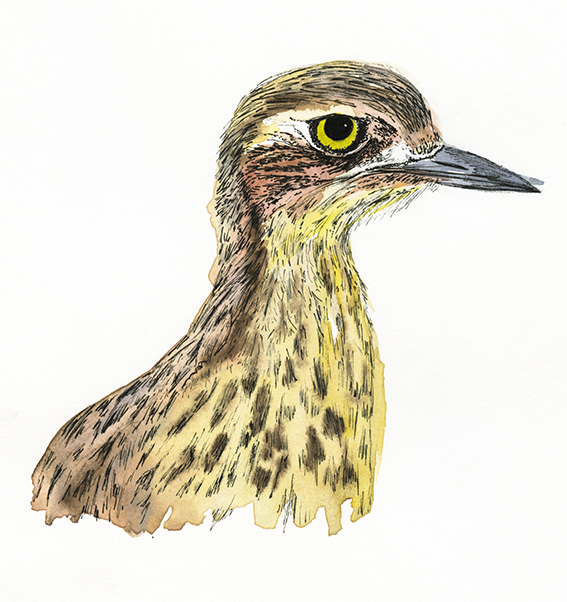 Stone Curlew illustration (c) Ella Johnston