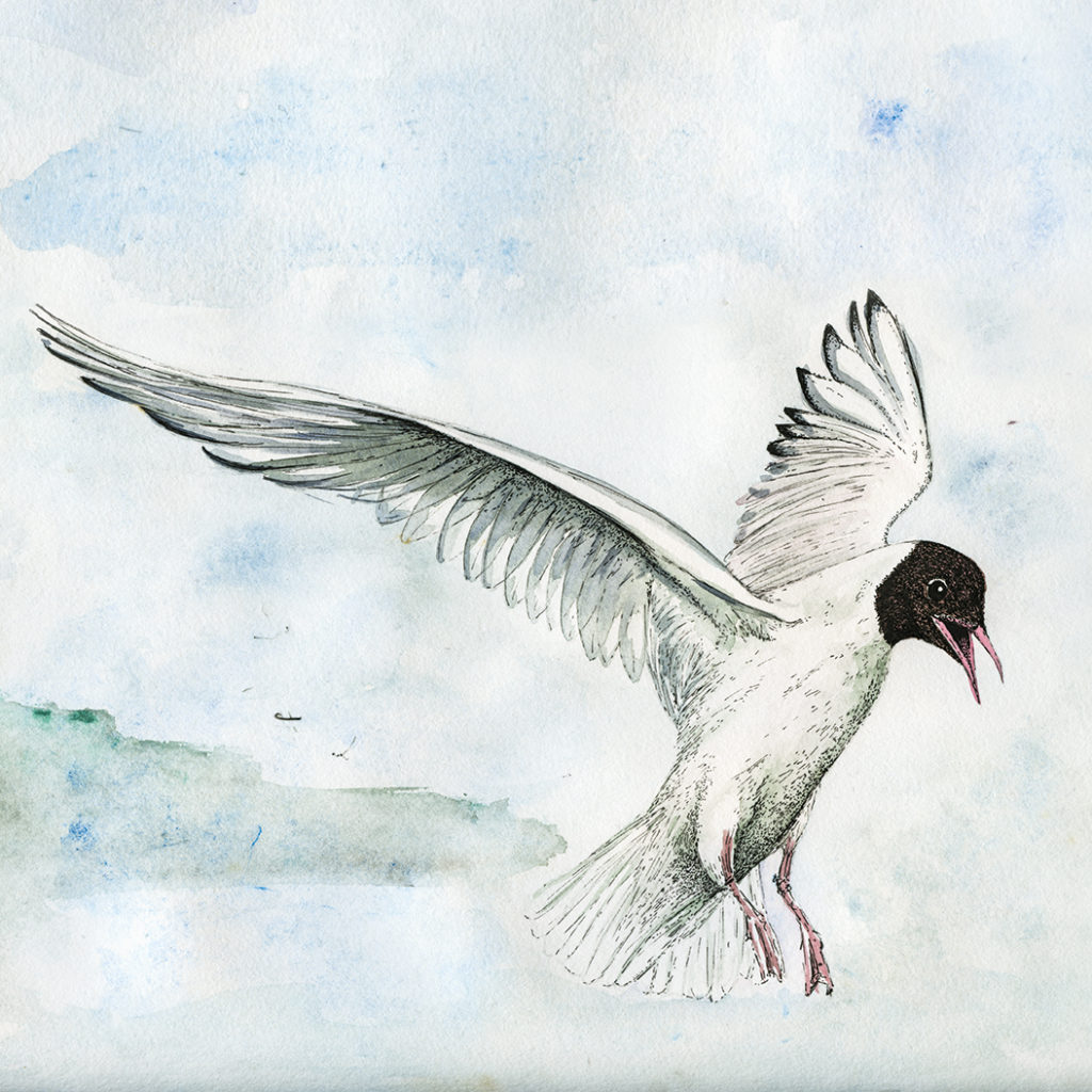 Black headed gull illustration (c) Ella Johnston