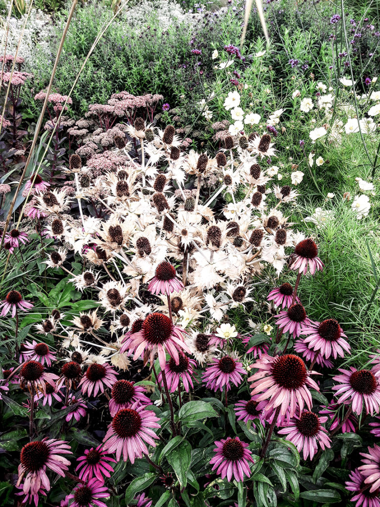 Cone flowers, Cambridge Botanic Gardens
