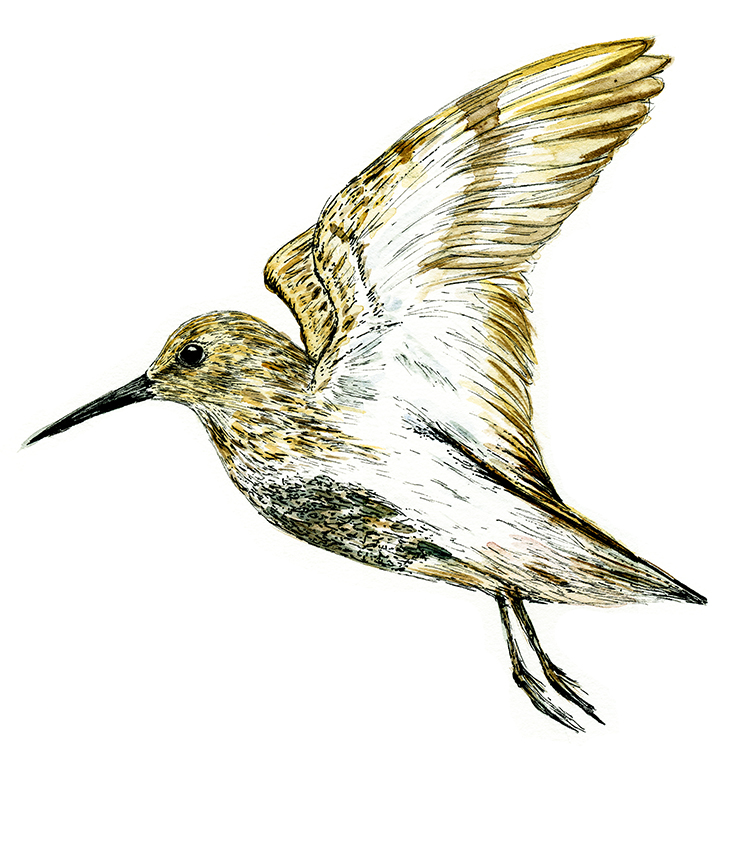 Flying dunlin watercolour and fine line drawing (c) Ella Johnston