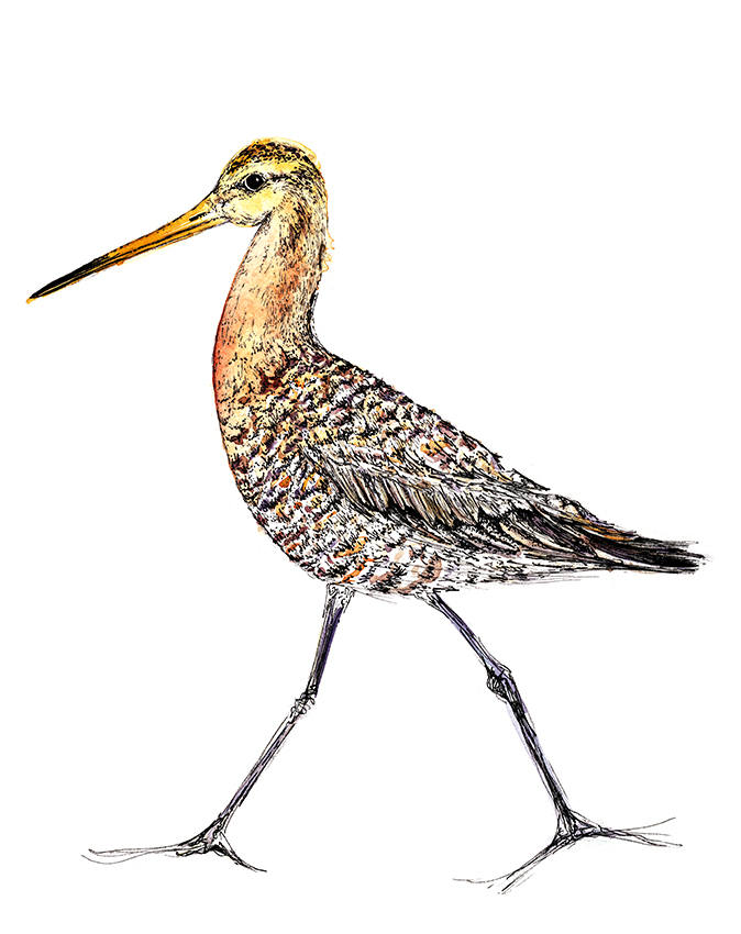 Godwit watercolour and fine line illustration (c) Ella Johnston