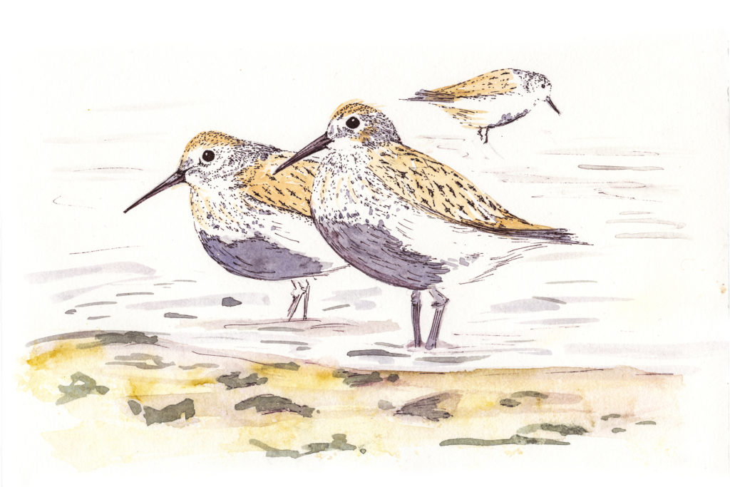 Shorebirds, illustration (c) Ella Johnston, Brittany Ferries, Guardian Labs 2017