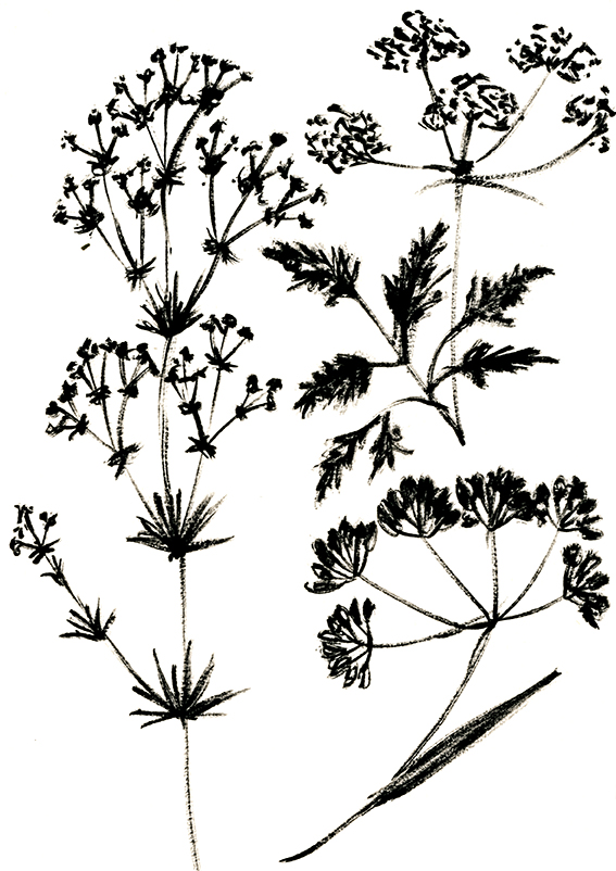 Black and white wild flower sketches (c) Ella Johnston