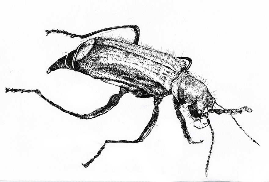 Green Malachite Beetle, black and white fine line insect illustration. Ella Johnston
