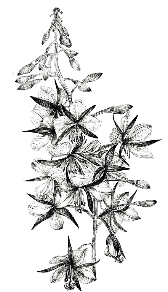 Rosebay Willlowherb, black and white fine line botanical illustration. Ella Johnston