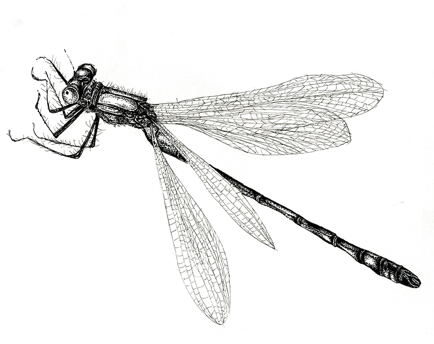 Scarce Emerald Damselfly, black and white fine line insect illustration. Ella Johnston